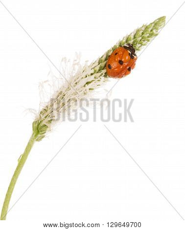 Macro ladybug on a spike of plantain in water drops isolated on white background