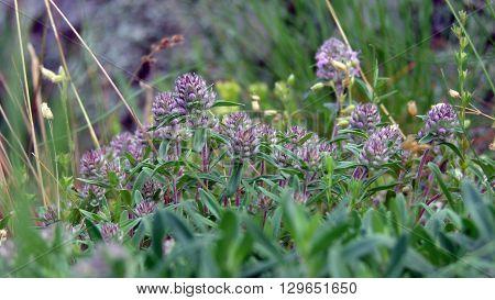Чабрец трава пряность thyme поле растение зелень