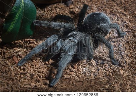 Adult female Brazilian black tarantula in captivity.