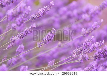 Purple violet color lavender flower field closeup background.