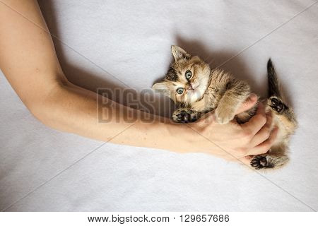 person laid his hand on belly the cute little kitten British golden chinchilla ticked
