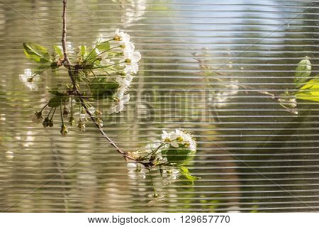 tree branch with the beautiful white cherry blossom can see a through the polycarbonate a warm May day