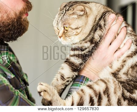 Strong bearded man holding a scottish fold which deviseth escape