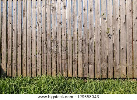 fence of flat wooden planks between which the crawls branches of bushes and the foreground of a juicy green grass