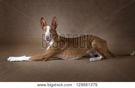 One year old purebred Podenco ibicenco dog lying in front of brown background