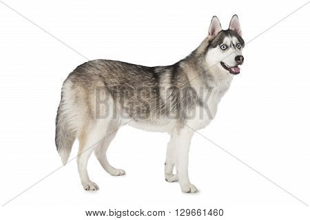 Purebred Siberian Husky dog standing in front of white background and looking forward