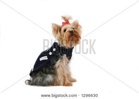 Fine Yorkshire Terrier