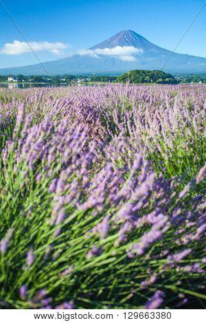 Mountain fuji and purple color of lavender in foreground at lake Kawaguchiko in summer season