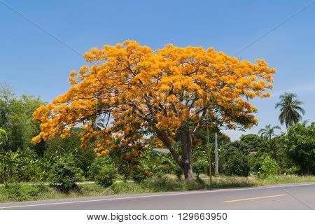 Beautiful Peacock flower yellow color on tree Naturally beautiful flowers on the road