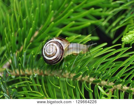 Snail on green branches of a fur-tree or pine