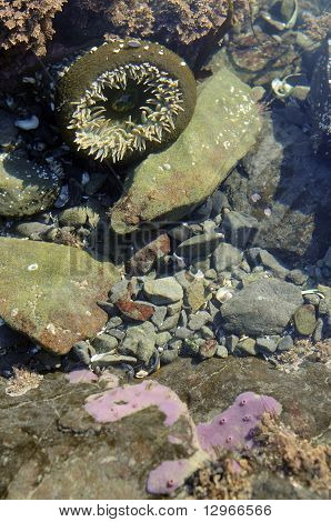 Sea Anemone, Olympic Peninsula, Washington State