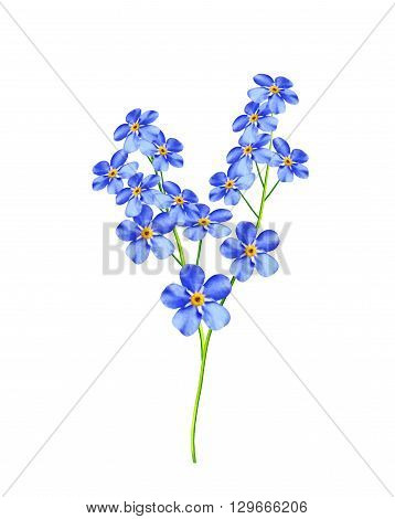 colored flowers forget me anots isolated on white background. beautiful flowers