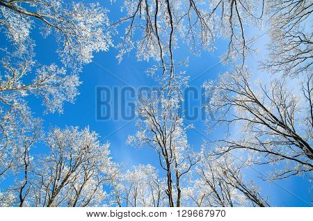 Winter trees in frost. hard frost in sunny weather.