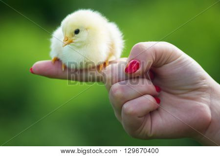 Man holding a small newly hatched yellow Chicken in a hand.The little chick in hands.