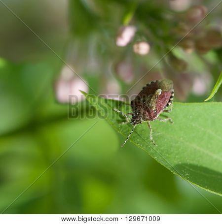 Bedbug in grenn blurry natural background on spring time, vivid nature