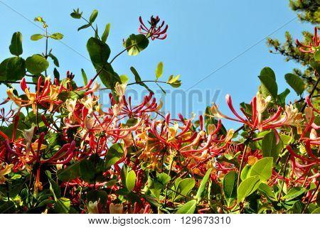 A Lonicera pericylmenum Latin name Honeysuckle, flowers