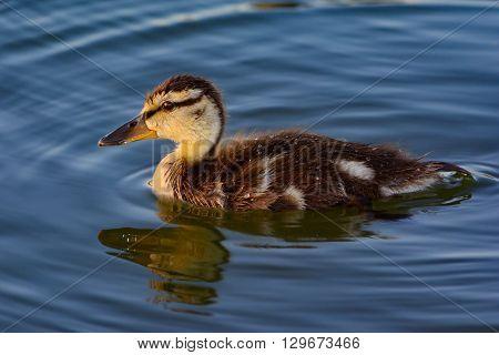 Juvenile Mallard Anas platyrhynchos swimming solo in pond