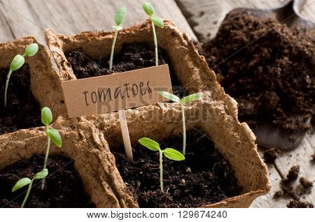 Sprouting tomato seedlings with cardboard and lettering tomatoes
