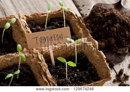 Sprouting tomato seedlings with cardboard and lettering Tomaten (german for tomatoes)