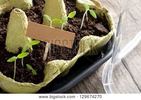 Tomato seedlings in mini-greenhouse with cardboard and copy space