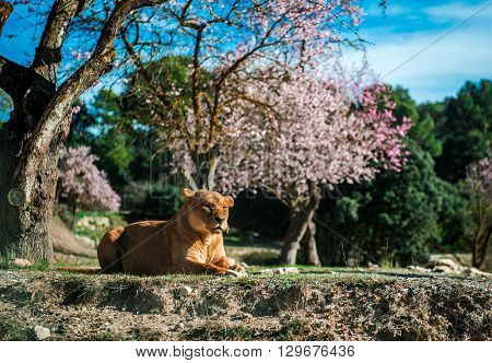 Lioness lie on a ground sunny day and blooming almond trees on a background