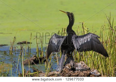 Anhinga standing on tree stump drying wings.