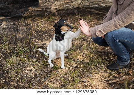 Cute Funny Parson Russel Terrier Dog Touches Hand Of Woman