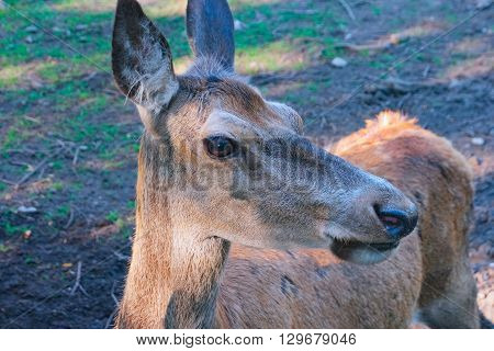 Portrait of Red Deer hind close up
