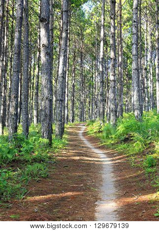 Beautiful landscape of pine jungle in morning fog, path through pine forest