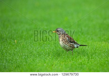 Thrush Fieldfare (Turdus pilaris) for a meal on the green grass with drops of dew MayPoland in spring.Horizontal view.