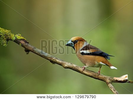 Hawfinch male (Coccothraustes coccothraustes) sitting on a dry branch you can see exactly short thick beak beautiful and colorful plumage. Side view. Spring in Poland. Horizontal view.