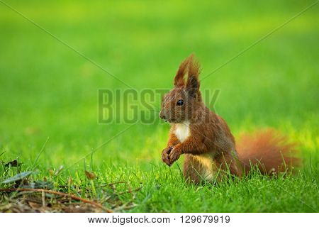 Red Squirrel (Sciurus vulgaris) sitting on the grass and eats sunflower seeds. The view from the left side. Spring in Poland May. Horizontal view.