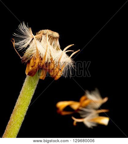 Beautiful Yellow dahlia withered flower isolated on a black background.Concept of nostalgia melancholy and even death.