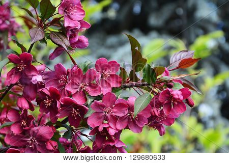 Dark red crabapple blossoms deep red foliage on Malus Royalty tree branches.