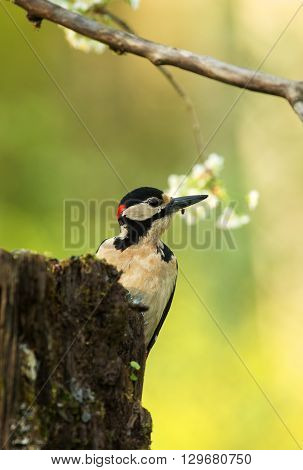 Male Great Spotted Woodpecker (Dendrocopos major) sitting on a rotten tree trunk and looks carefully at prawo.Spring in poland small. Close vertical view.