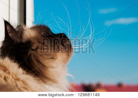 Himalayan cat looking through the open window at the sky color-Point