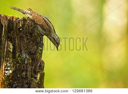 Wryneck (Jynx torquilla) sits leaning forward on top of mossy trunk and look carefully down. Photo on the yellow-green background shallow depth of field. Spring in Poland. Horizontal view.