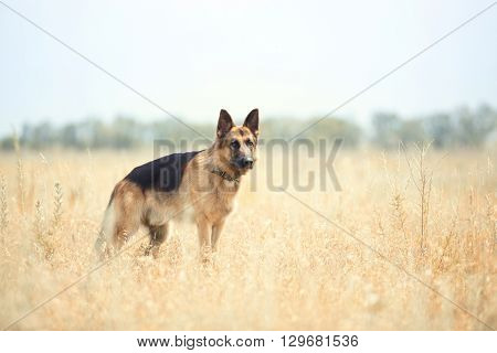 German sheepdog in the steppe. Color photo