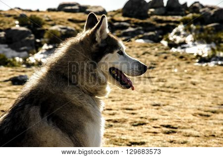 Snow dog on the mountain with bright background