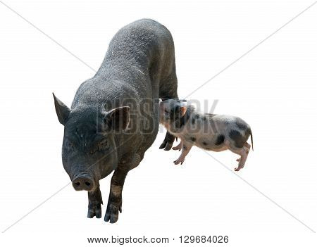 vietnamese potbellied pigs and piglet on white background