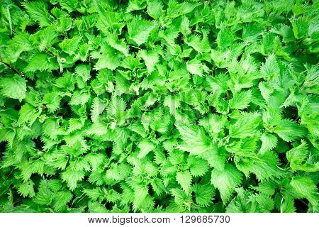 Green Stinging Nettles Weed Background