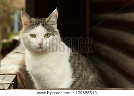 stray siberian cat on the rural country block house background coseup portrait