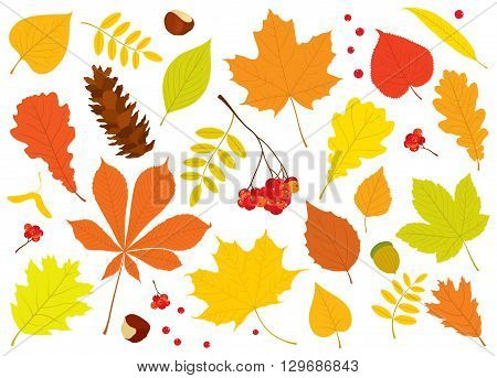Vector set of different, isolated autumn tree leaves, Rowan berries, acorn, chestnuts and pine cone on white background.