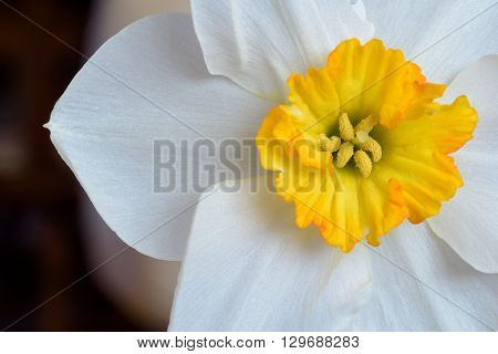 White Daffodil Narcissus Closeup