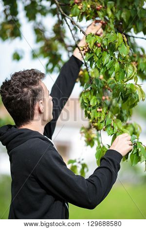 Teenager Picking Cherries