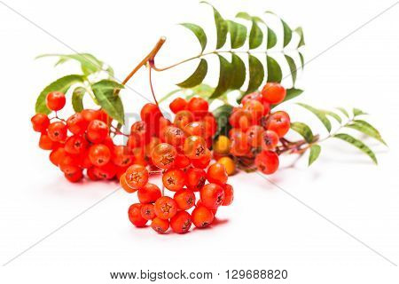 Rowan berries on a twig with leaves isolated on white