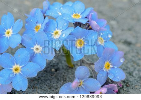 Bunch Of Forget-me-not Flowers