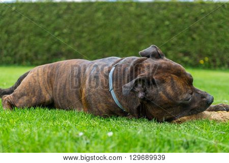 Dog Staffordshire bull terrier chewing wooden stick while lying on freshly cutted grass with hedge on background.