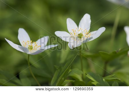 Two flowers of Wood Anemone (Anemone nemorosa) flowering in a nature garden