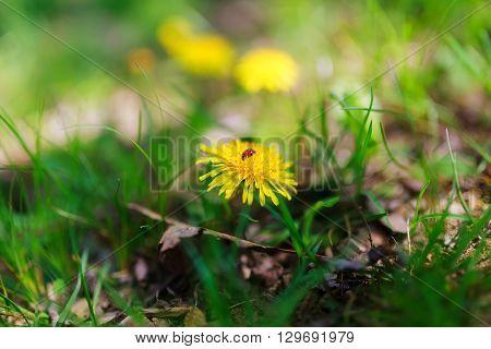 Dandelion with ladybird Spring Ladybug Dandelion green